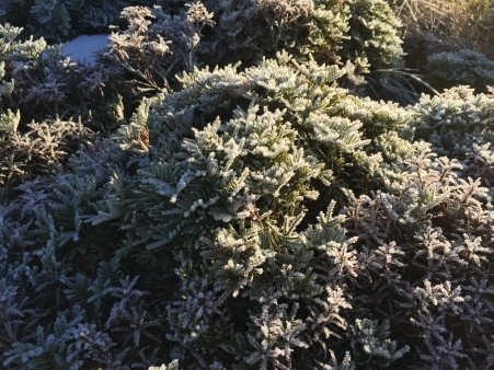 Pretty frosty plants