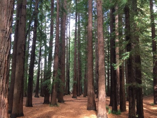 Mini-redwood forest.