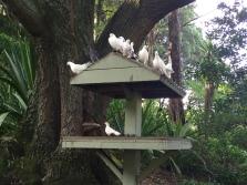 Yaay? White pigeons...