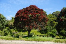 Pohutukawa trees in full bloom!