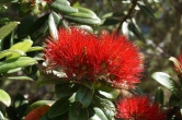 Pohutukawa flowers. NZ's Christmas tree